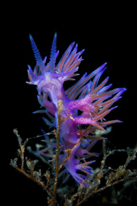 &quot;Pretty in pink&quot;  ( Flabellina affinis ) by Roland Bach 